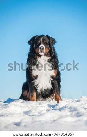 Bernese mountain dog sitting on the hill in winter - stock photo