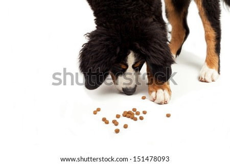 bernese Mountain Dog that eating on a white background - stock photo