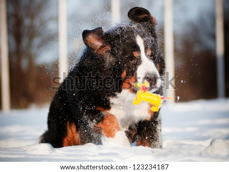 bernese mountain dog with a toy and funny ears - stock photo
