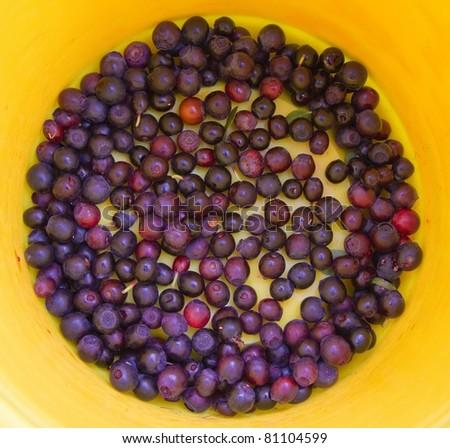 berries IN YELLOW BUCKET - stock photo