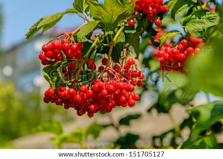 Berries of a arrowwood hang on a branch against the blue sky - stock photo