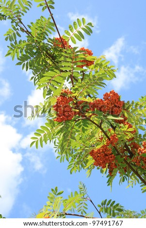 Berries of a mountain ash against the blue sky - stock photo