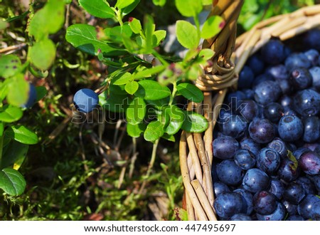 Berries of ripe juicy bilberry in a wattled basket in the summer in the wood, closeup - stock photo