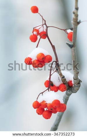 Berries red mountain ash covered with snow - stock photo