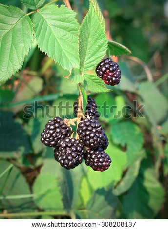 Berries ripe blackberries on green blurred background - stock photo