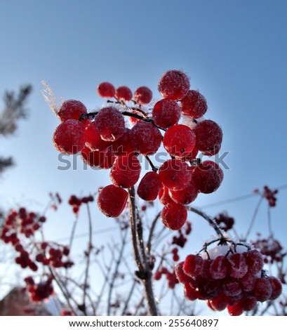 Berries Viburnum, Omsk region, Siberia, Russia - stock photo