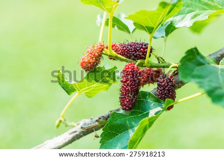 Berry fruit in nature, mulberry  - stock photo