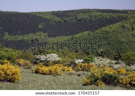 Besenginster, Cytisus scoparius, Common Bromm, Germany - stock photo