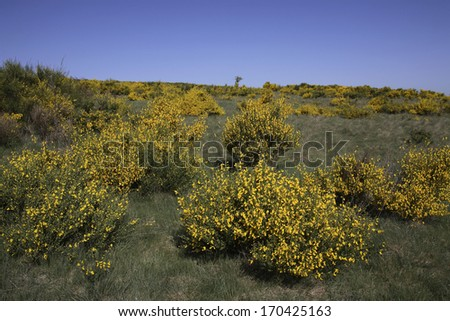 Besenginster, Dreiborner Hochflaeche, Cytisus scoparius, Common Broom - stock photo