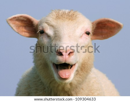 Best sheep in north germany - stock photo