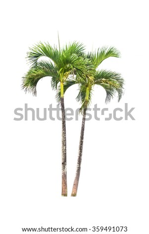 Betel palm tree isolated on white and clipping paths - stock photo