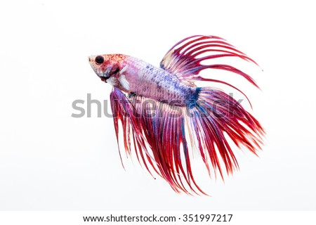Rooster fish stock photos images pictures shutterstock for Siamese fighting fish crossword