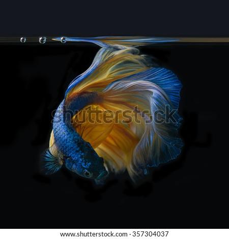 betta fish in aquarium - stock photo
