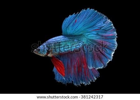 betta fish isolated on black background - stock photo