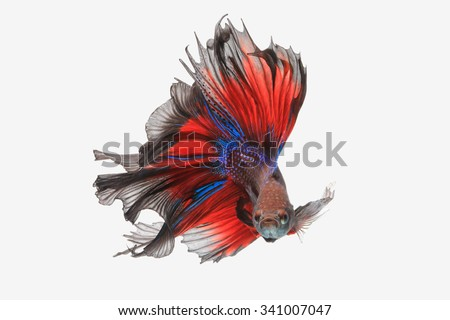 betta fish  isolated on white background. Flying betta fish - stock photo