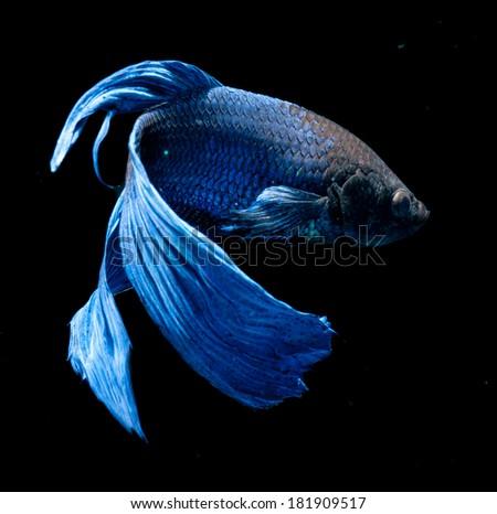 BETTA FISH on black background - stock photo