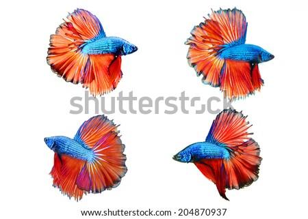 Betta Fish Siamese fighting fish - stock photo