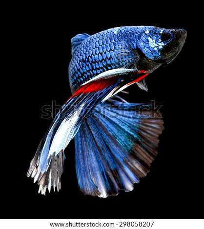 Betta fish, siamese fighting fish, betta splendens (Halfmoon betta)isolated on black background - stock photo