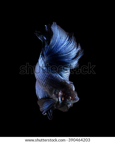 Luchador stock photos images pictures shutterstock for Betta fish training