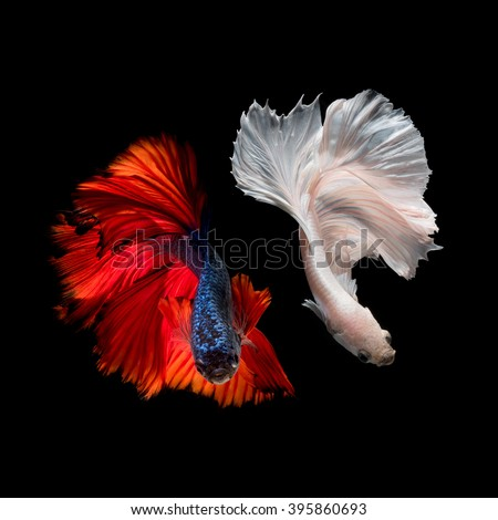 Betta fish,Siamese fighting fish in movement isolated on black background - stock photo