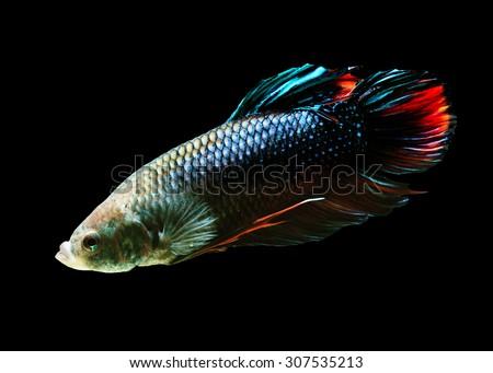 Betta fish, siamese fighting fish, isolated on black background. - stock photo