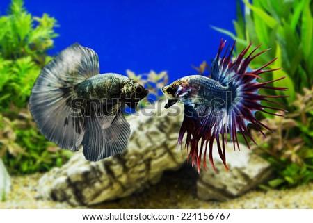 Betta fish, Siamese fighting fish with green plants - stock photo
