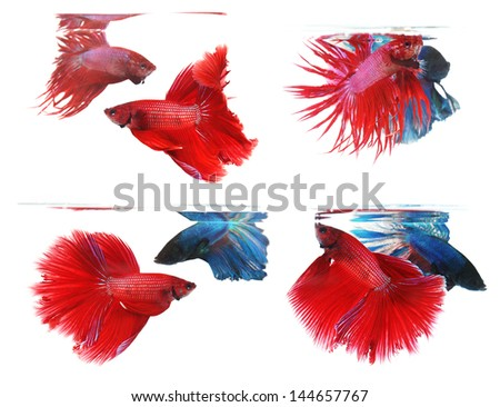 Betta fishes, siamese fighting fish isolated on white background Crown tail and Half moon - stock photo