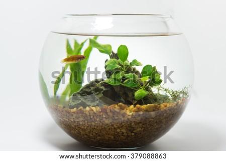 betta in fishbowl - stock photo