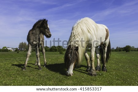 Beverley, Yorkshire, UK. Mare and foal Skewbalds graze on a fine summer morning on Swine Moor open pasture near Tickton, Yorkshire, UK. - stock photo