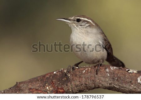 Bewick�´s wren perched on a branch - stock photo