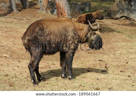 Bhutan takin (national animal of Bhutan) - stock photo