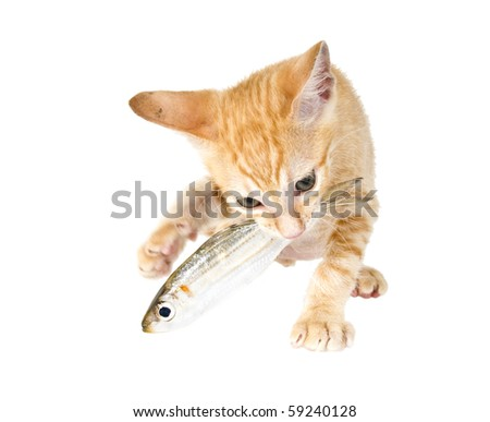 Bi-ginger kitten eats fish - stock photo