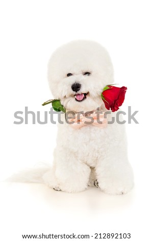 Bichon dog with red rose sitting on a white background - stock photo