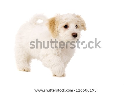 Bichon Frise cross puppy walking isolated on a white background - stock photo