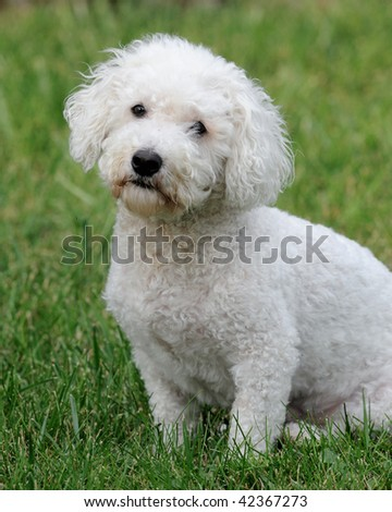 Bichon Frise dog - stock photo