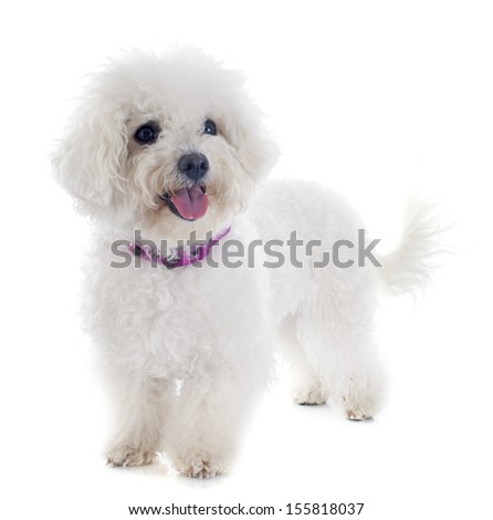 bichon frise in front of white background - stock photo