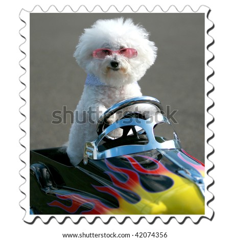 Bichon Frise stamp in a generic childs pedal car - stock photo