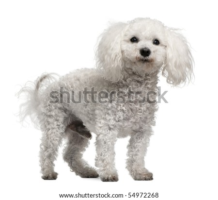 Bichon frise, 12 years old, standing in front of white background - stock photo