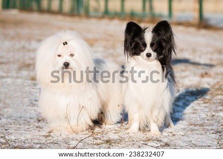Bichon frize and papillon dogs walking outdoors in winter - stock photo