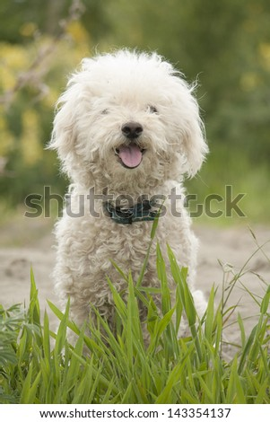Bichon Maltese X Dog - stock photo