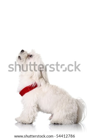 Bichon puppy with red collar isolated on white - stock photo