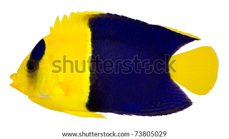 Bicolor Cherub Angelfish isolated on white background. Oriole Angelfish. Blue and Gold angelfish. (Centropyge Bicolor) - stock photo