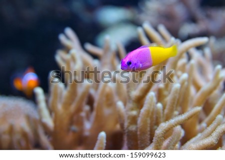 Bicolor Dottyback (Pictichromis paccagnella), also called the Royal Dottyback or False Gramma is a fish commonly kept in marine aquariums - stock photo