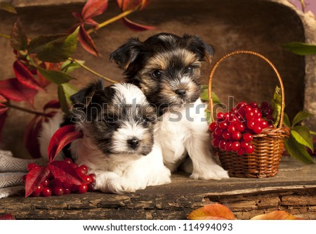Biewer terrier puppies - stock photo