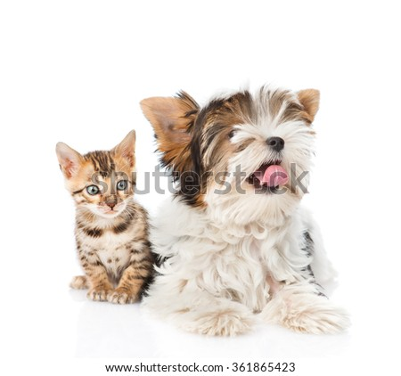 Biewer-Yorkshire terrier dog and bengal cat lying together. isolated on white background - stock photo
