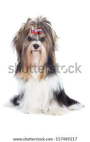 Biewer-Yorkshire terrier on a white background in studio - stock photo