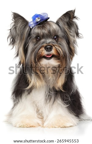 Biewer Yorkshire terrier on white background - stock photo