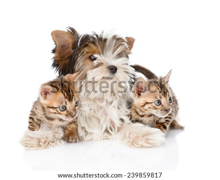 Biewer-Yorkshire terrier puppy and two bengal kittens. isolated on white background - stock photo
