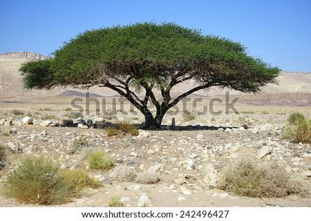 Big acacia tree in Negev desert, Israel                                - stock photo