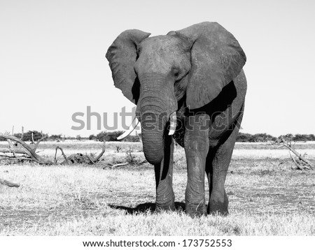 Big african elephant in grasslands of Chobe National Park (black and white photography) - stock photo